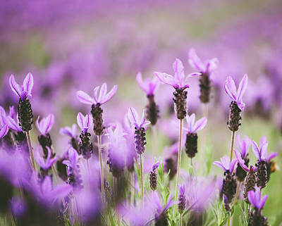 Photograph - Lavender In The Field by Hyuntae Kim