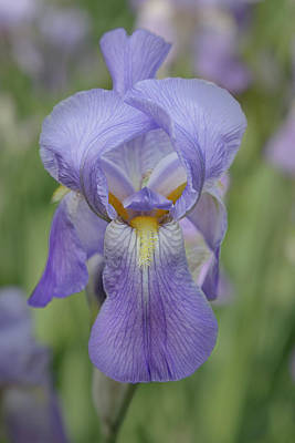 Photograph - Lavender Iris 1 by Jemmy Archer