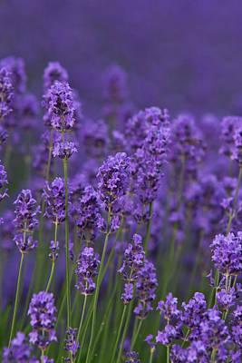 Photograph - Lavender by Jos Verhoeven