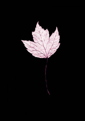 Photograph - Lavender Leaf On Black by Connie Fox
