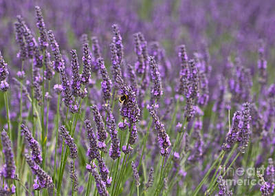 Photograph - Lavender by Liz Alderdice