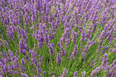 Photograph - Lavender by Louise Magno
