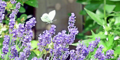 Photograph - Lavender Love by Leslie Montgomery