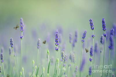 Photograph - Lavender Magic by Eva Lechner