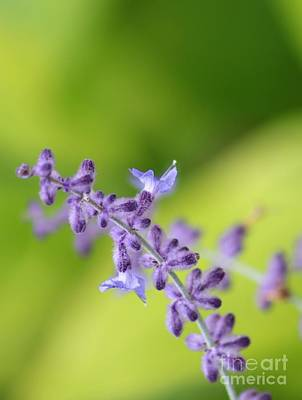 Photograph - Lavender  by Marcia Lee Jones
