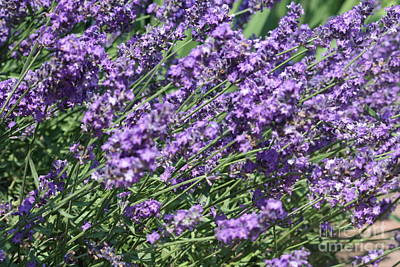 Photograph - Lavender by Mary-Lee Sanders