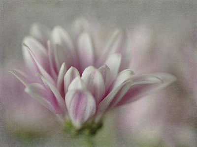 Photograph - Lavender Mini Mum by Teresa Wilson