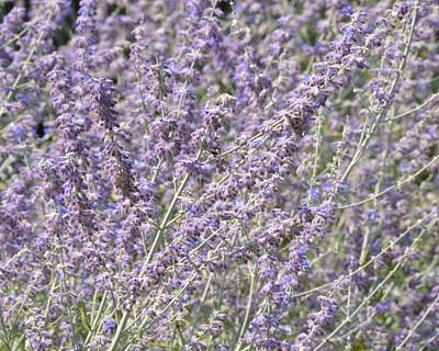 Photograph - Lavender Mist by Photography by Tiwago