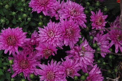 Photograph - Lavender Mums by Robyn Stacey