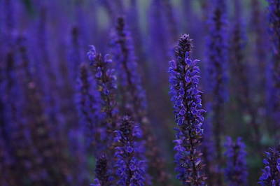 Photograph - Lavender Night by Christian Trajkovski