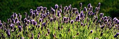 Photograph - Lavender Pano by Jerry Sodorff