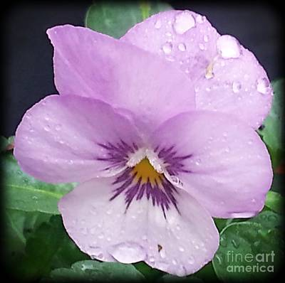 Photograph - Lavender Pansy And Rain by Eva Thomas