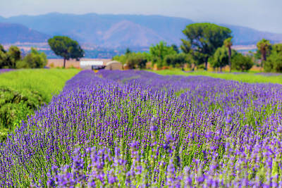 Photograph - Lavender by Peter Tellone