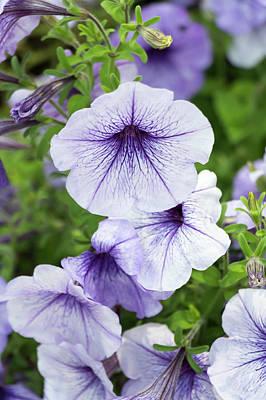 Photograph - Lavender Petunias by Dawn Cavalieri
