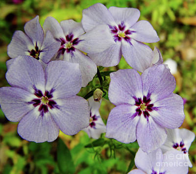 Photograph - Lavender Phlox by D Hackett