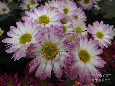 Photograph - Lavender Pink Daisies by Lingfai Leung