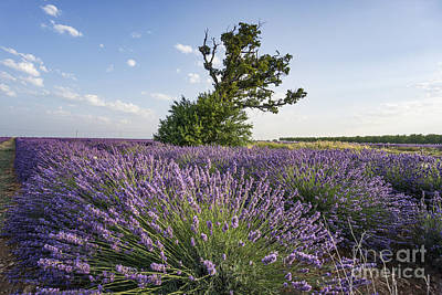 Photograph - Lavender Provence  by Juergen Held