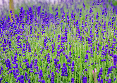 Photograph - Lavender by Rainer Kersten