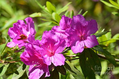 Photograph - Lavender Rhododendron II by Maria Urso