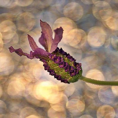 Photograph - Lavender by Rod Sterling
