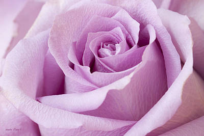 Interior Design Art Photograph - Lavender Rose Just About Perfect  by Sandra Foster