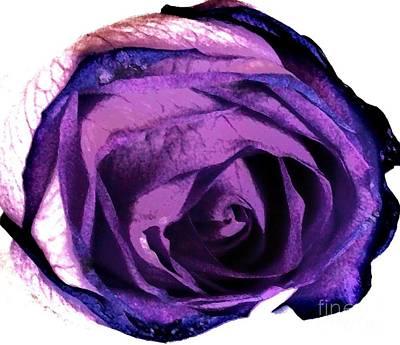 Framed Matted Photograph - Lavender Rose by Marsha Heiken