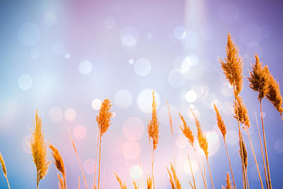 Photograph - Lavender Sea Oats Bokeh by Colleen Kammerer