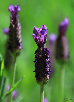 Photograph - Lavender Spike by Rasma Bertz