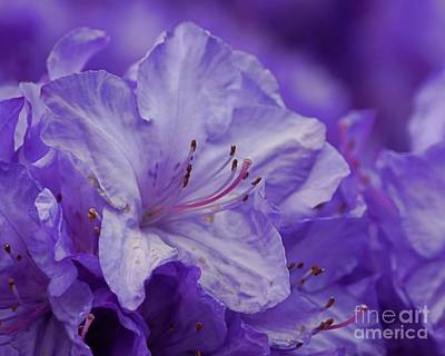 Photograph - Lavender Star by Patricia Strand