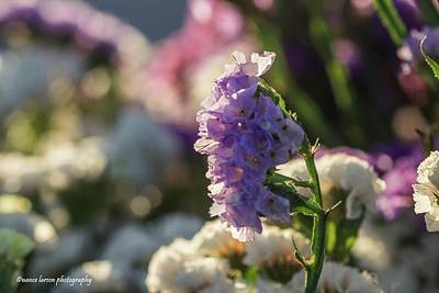 Photograph - Lavender Straw Flower by Nance Larson