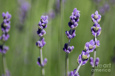 Photograph - Lavender  by Suzanne Luft