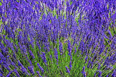 Photograph - Lavender Swirl by Rick Bragan