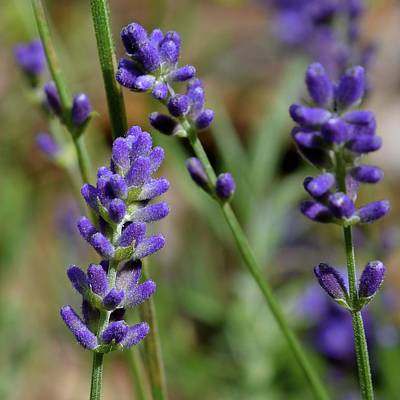 Photograph - Lavender by Tana Reiff