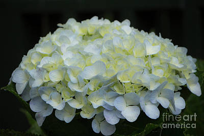 Photograph - Lavender Tinted Hydrangea by Teresa Wilson