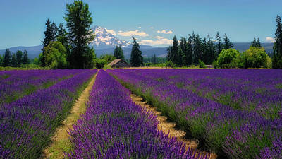 Robert Bellomy Royalty-Free and Rights-Managed Images - Lavender Valley Farm by Robert Bellomy