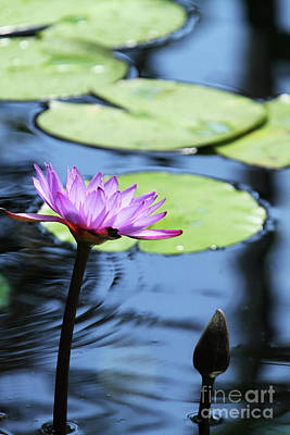 Aquatic Photograph - Lavender Water Lily #2 by Judy Whitton