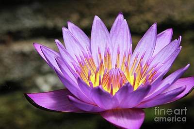 Photograph - Lavender Water Lily #3 by Judy Whitton