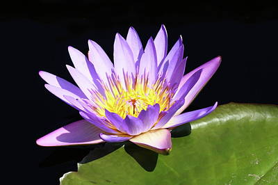 Photograph - Lavender Water Lily 3 by Lou Ford