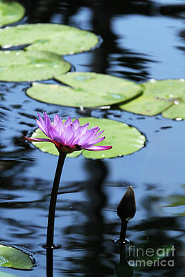 Photograph - Lavender Water Lily #4 by Judy Whitton