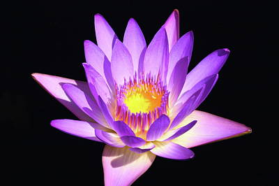 Photograph - Lavender Water Lily 4 by Lou Ford