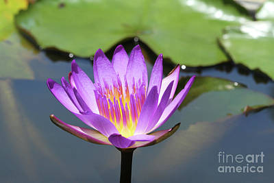 Photograph - Lavender Water Lily by Judy Whitton