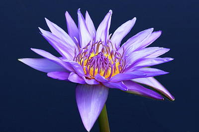 Photograph - Lavender Water Lily by Lou Ford