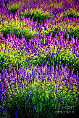 Photograph - Lavenderous Harmony by Olivier Le Queinec