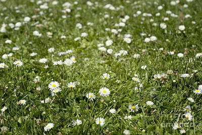 Photograph - Lawn Of Daisies by Cindy Garber Iverson
