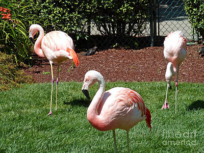 Pink Flamingo Nature Photograph - Lawn Ornaments by Methune Hively
