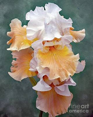 Marvelous Marble - Layers Of Lace - Bearded Iris by Cindy Treger