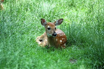 Deer Photograph - Laying Fawn by Michael Barry