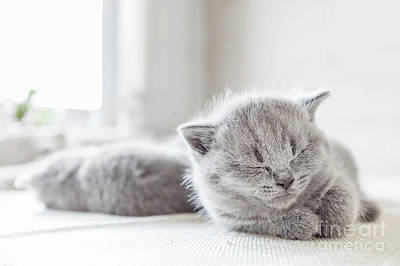 Photograph - Laying Grey Cat. British Shorthair. by Michal Bednarek