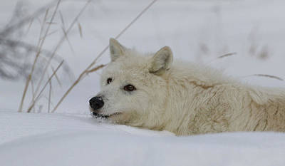 Photograph - Laying In The Snow by Steve McKinzie