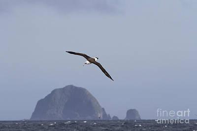 Us Fauna Photograph - Laysan Albatross by Desmond Dugan/FLPA